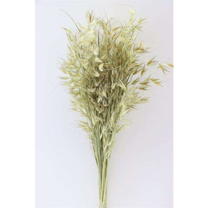 Dried Oats (Avena) wild natural