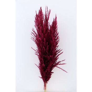 Pampas grass red well-filled soft plumes dried