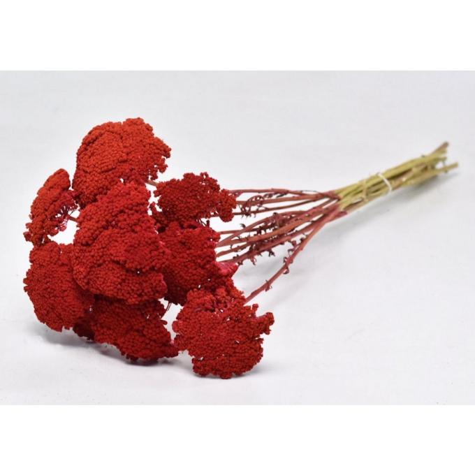 Red dried Achillea (10 stems)