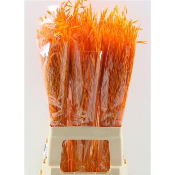 Dried bunch Oat Avena Salvaje bleached orange