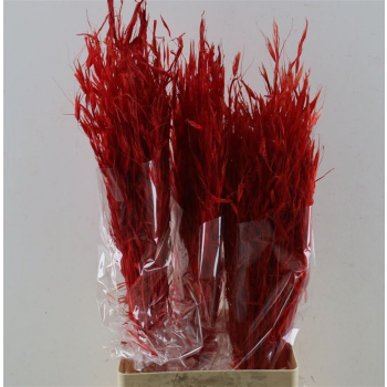 Dried bunch Oat Avena Salvaje bleached red