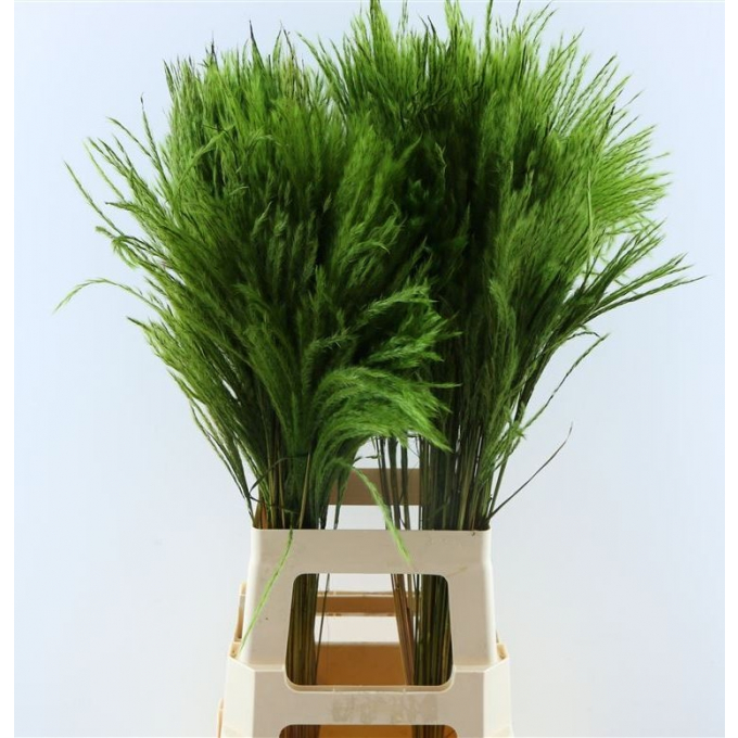 Fluffy Reed grass plumes apple green