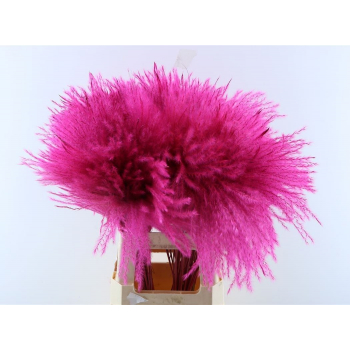 Fluffy Reed grass plumes cerise