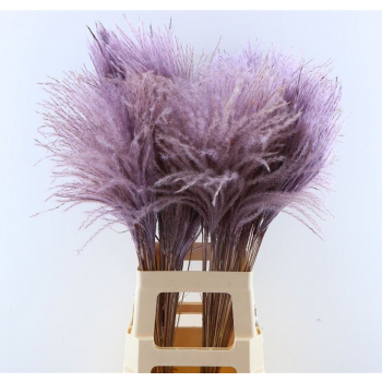 Fluffy Reed grass plumes milka