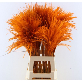 Fluffy Reed grass plumes orange