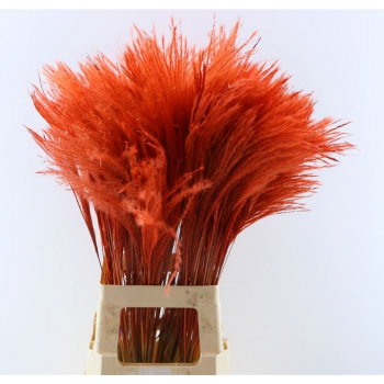 Fluffy Reed grass plumes red