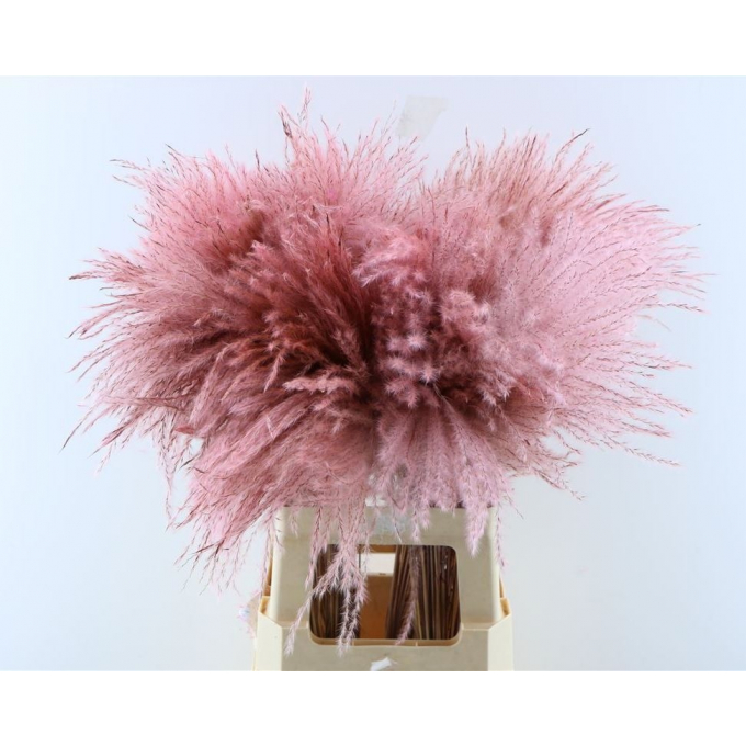 Fluffy Reed grass plumes pale pink