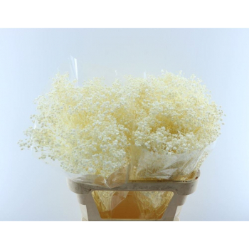 Dried Gypsophila bleached 5 stems
