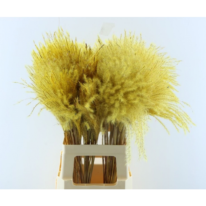 Fluffy Reed grass plumes yellow