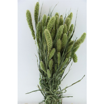 Natural dried foxtail (100 gr)