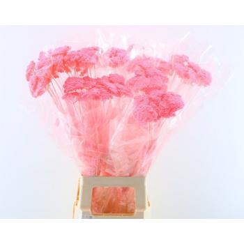 Dried bunch Achillea Parker bleached light pink