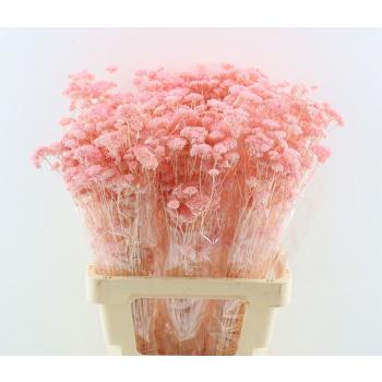 Dried bunch Achillea Silvestre bleached light pink