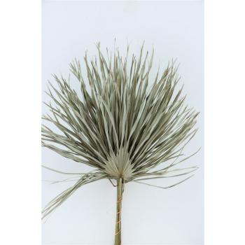 Chamaerops leaves large natural dried