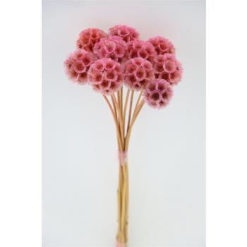 Dried Scabiosa Stellata pink
