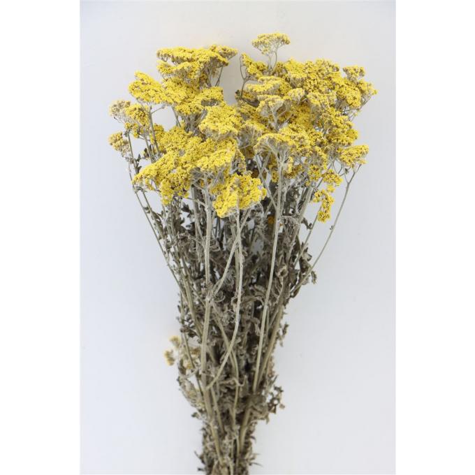 Yellow dried Achilea Moonshine