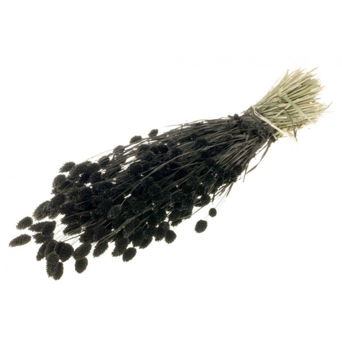 Dried Phalaris with color treatment black