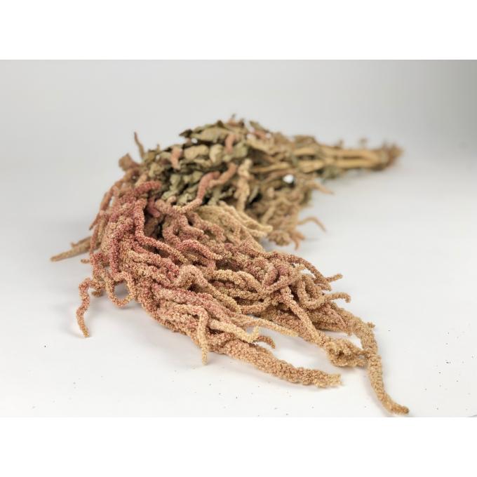 Bunch of dried Amaranthus orange