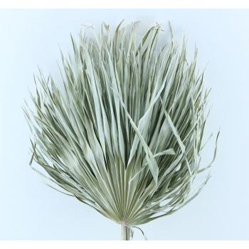 Chamaerops leaves large light white dried