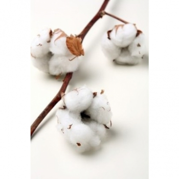 Cotton branches (Gossypium) with 10 bulbs per branch
