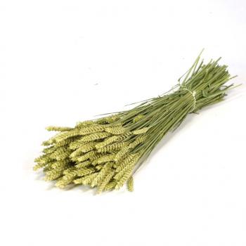 Dry Wheat Bunch (Triticum)